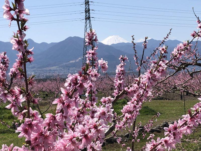 今年も桃の花が咲きました。